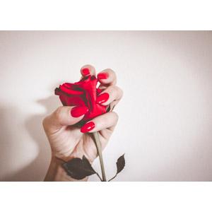 フリー写真, 人体, 手, マニキュア, 植物, 花, 薔薇(バラ), 赤色の花