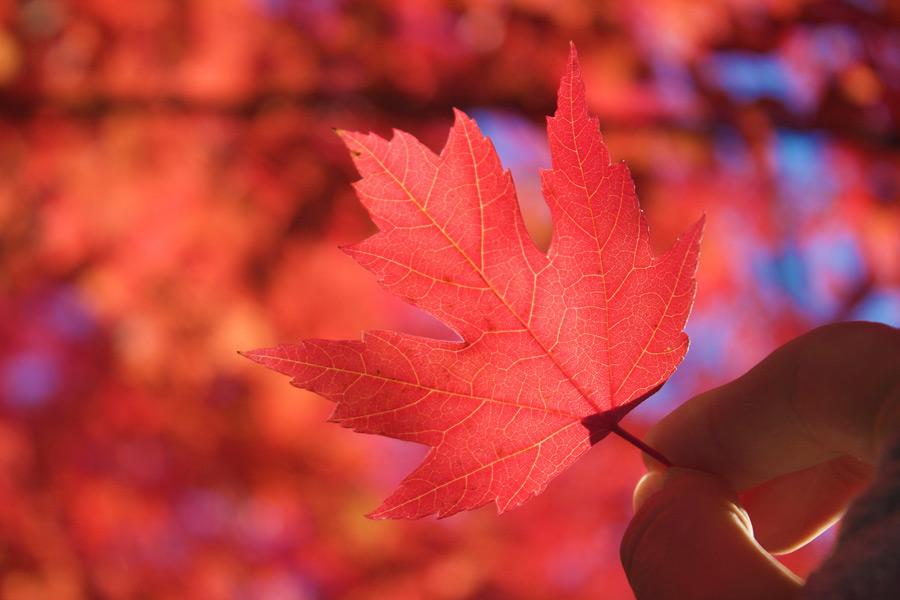 フリー写真 紅葉したカエデの葉