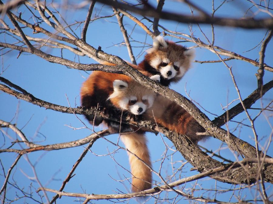 フリー写真 木の枝にいる二匹のレッサーパンダ