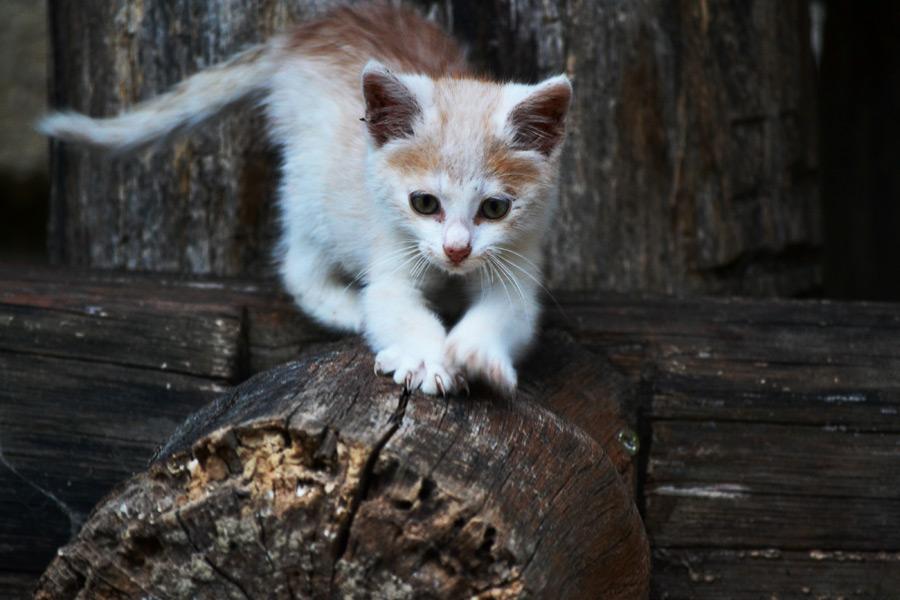 フリー写真 丸太の上で爪を立てる子猫