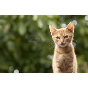 フリー写真, 動物, 哺乳類, 猫(ネコ), 子猫, 子供(動物), 茶トラ猫