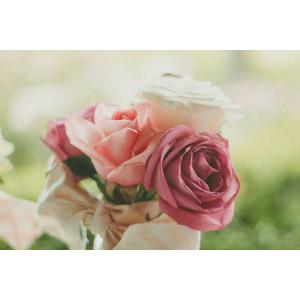 フリー写真, 植物, 花, 薔薇(バラ)