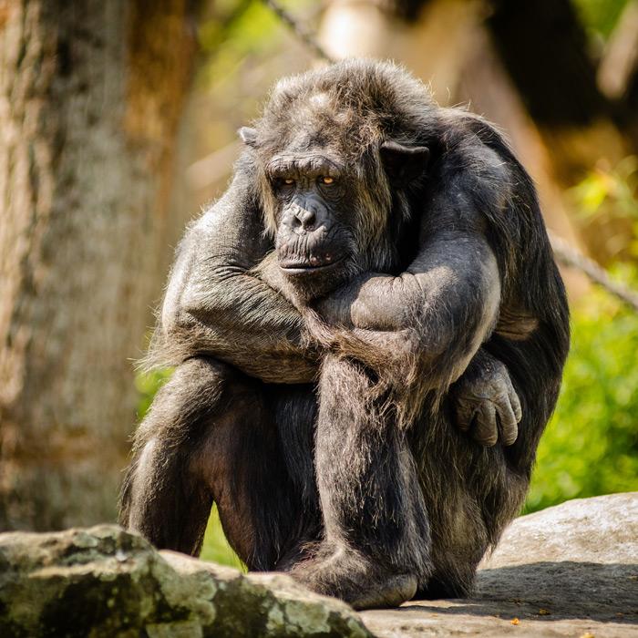 フリー写真 腕を組みながら座り込むチンパンジー