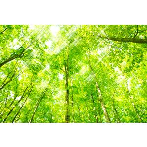 フリー写真, 風景, 自然, 森林, 樹木, 新緑, 木漏れ日, 太陽光(日光)