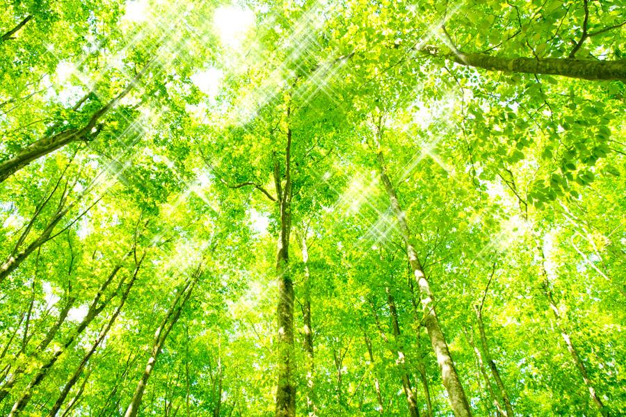 フリー写真 キラキラ光る木漏れ日と新緑のブナの木々
