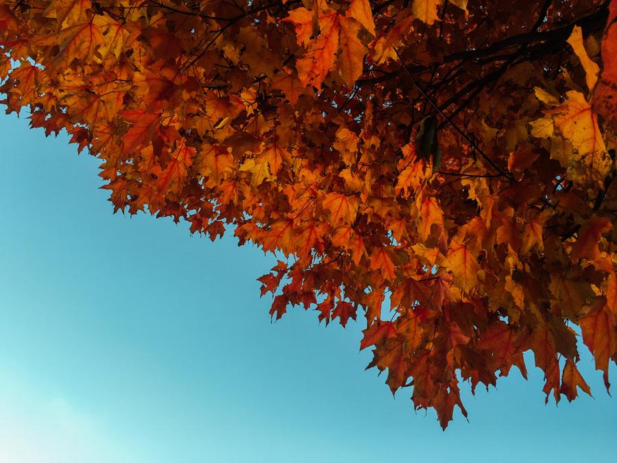 フリー写真 紅葉したカエデの葉と青空の風景