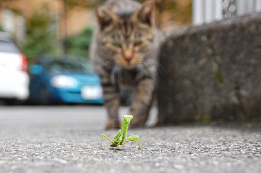 フリー写真 カマキリを狙うキジトラ猫