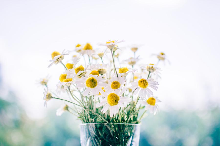 フリー写真 カモミールの花