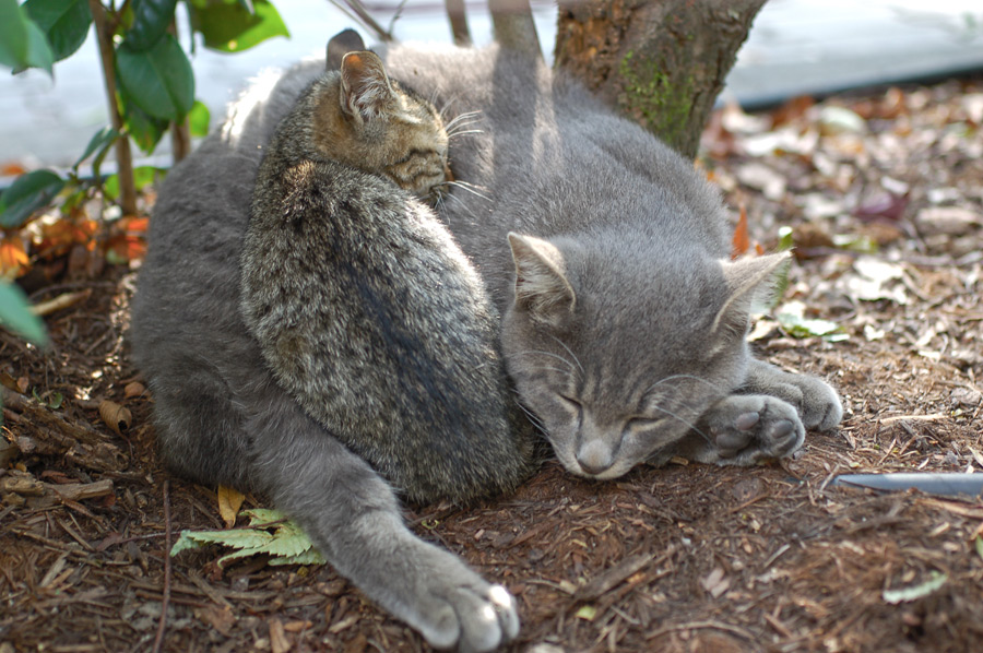 フリー写真 一緒に丸まって寝ている猫の親子