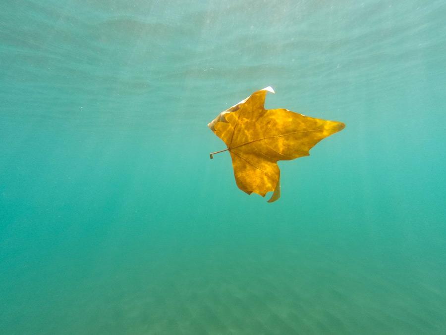 フリー写真 水中のカエデの葉