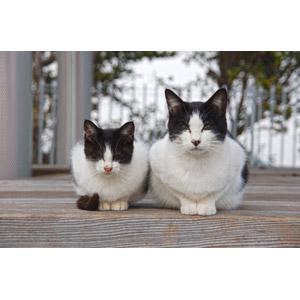 フリー写真, 動物, 哺乳類, 猫(ネコ), 子猫, 子供(動物), 親子(動物), 白黒猫