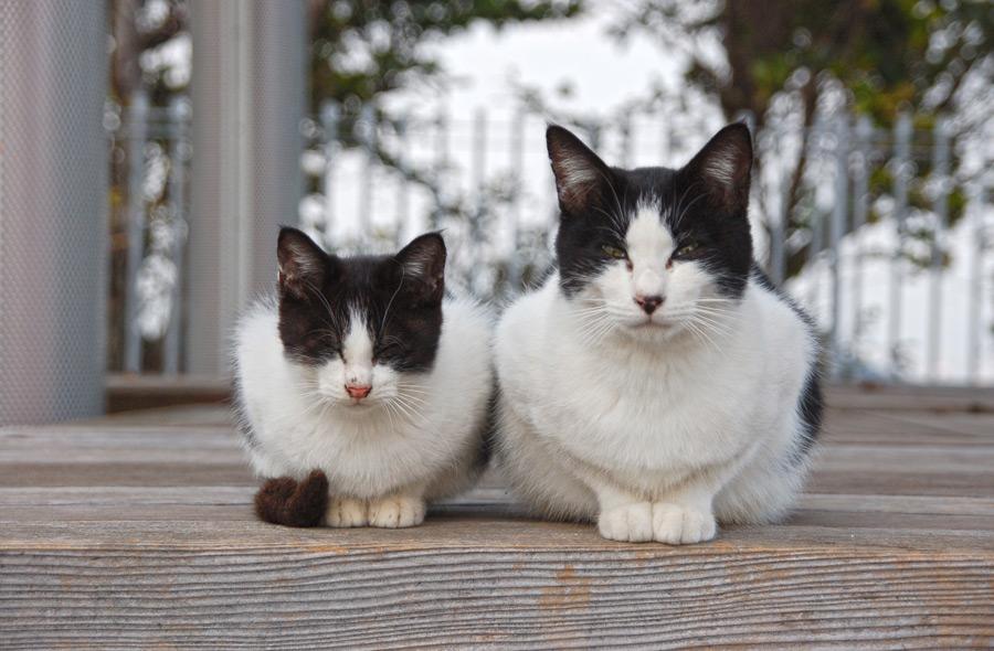 フリー写真 白黒猫の親子