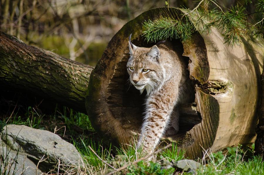 フリー写真 木の穴から出てくるヨーロッパオオヤマネコ