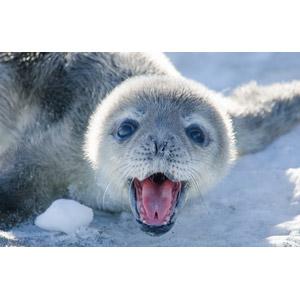 フリー写真, 動物, 哺乳類, アザラシ, 子供(動物)
