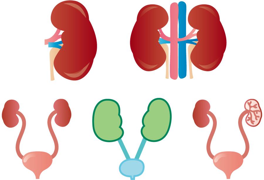 フリーイラスト 5種類の腎臓と膀胱のセット