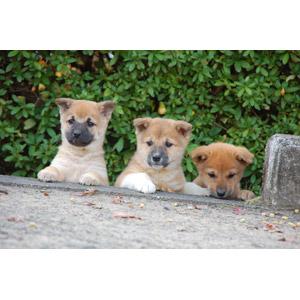 フリー写真, 動物, 哺乳類, 犬(イヌ), 子犬, 子供(動物)