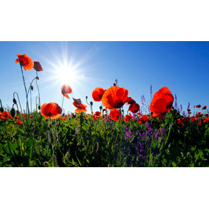 フリー写真, 風景, 自然, 植物, 花, ヒナゲシ(ポピー), 赤色の花, 青空, 太陽光(日光)