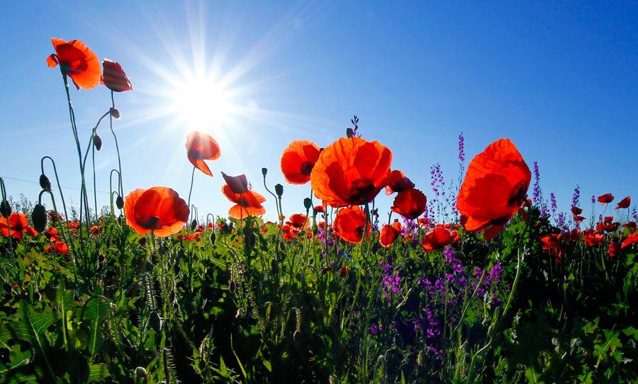 フリー写真 太陽光とヒナゲシの花