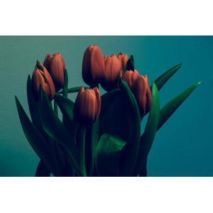 フリー写真, 植物, 花, チューリップ, 赤色の花