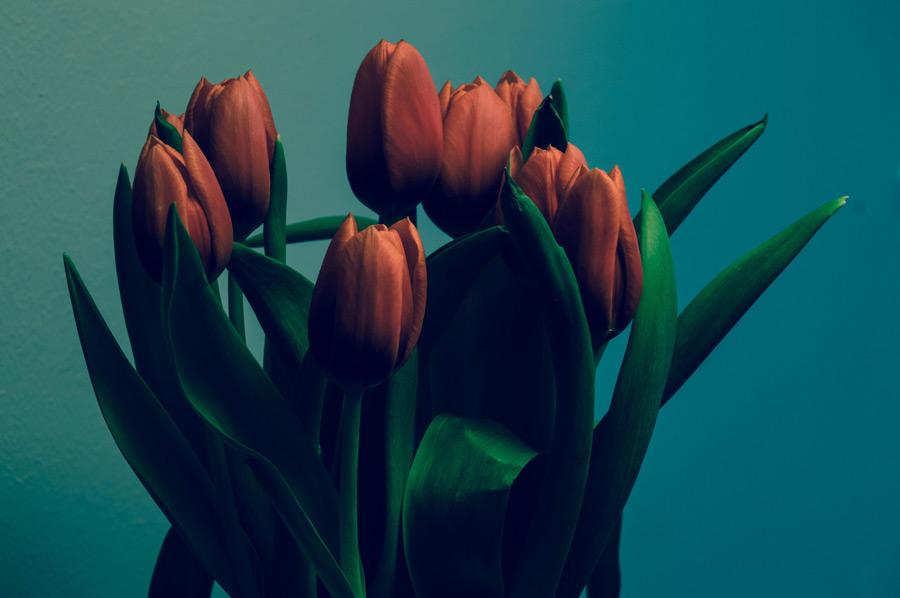 フリー写真 チューリップの花