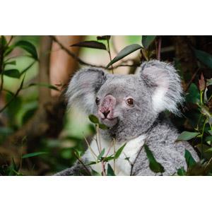 フリー写真, 動物, 哺乳類, コアラ