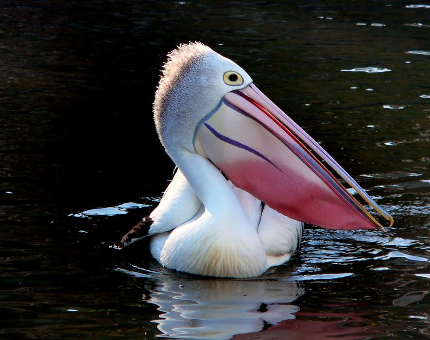Gahag - Fotos de pelicanos ...
