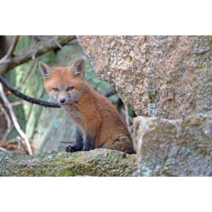 フリー写真, 動物, 哺乳類, 狐(キツネ), 子供(動物)