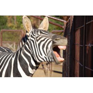 フリー写真, 動物, 哺乳類, 馬(ウマ), シマウマ, 欠伸(動物), 目を閉じる(動物), 口を開ける(動物), 歌う(動物)