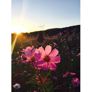 フリー写真, 人物, 女性, 手を広げる, 後ろ姿, 人と風景, 人と花, 植物, 花, コスモス(秋桜), 花畑, 夕暮れ(夕方), 夕日, 太陽光(日光), 秋