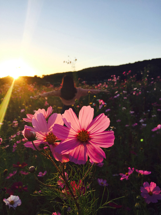 フリー写真 夕日とコスモス畑と手を広げる女性の後ろ姿