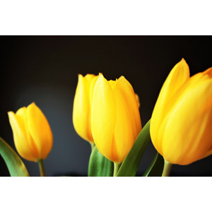 フリー写真, 植物, 花, チューリップ, 黄色の花