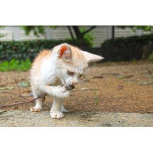 フリー写真, 動物, 哺乳類, 猫(ネコ), 子猫, 歌う(動物)