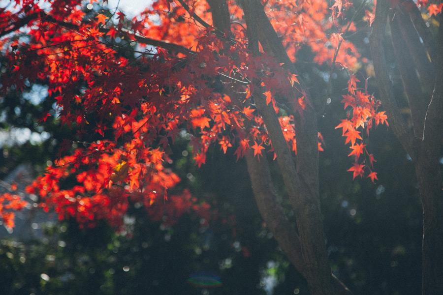 フリー写真 紅葉したもみじの葉っぱ