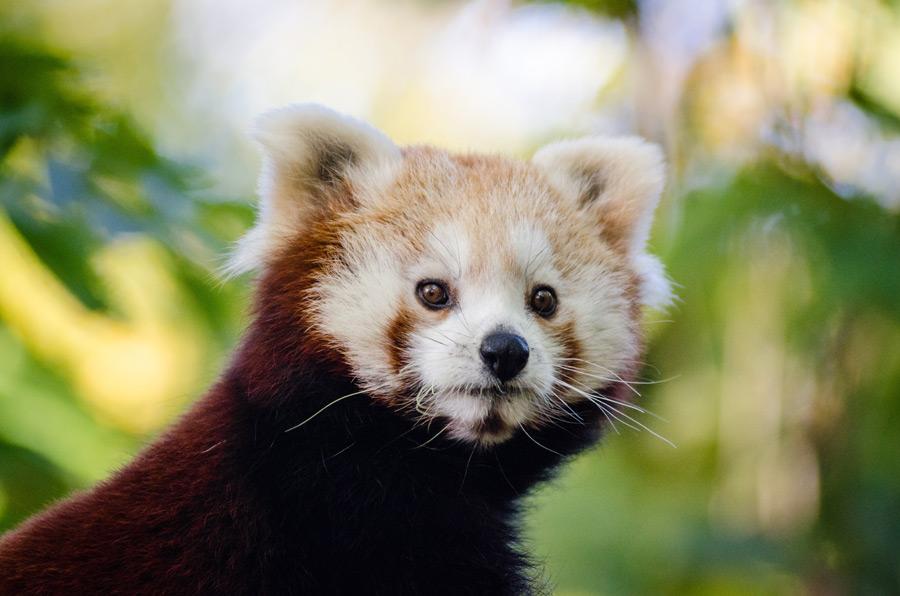 フリー写真 レッサーパンダ