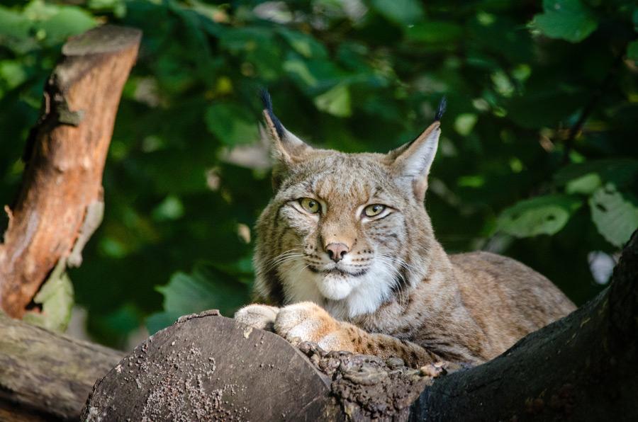 フリー写真 木の上で伏せているヨーロッパオオヤマネコ