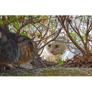 フリー写真, 動物, 哺乳類, 猫(ネコ), キジトラ猫, ペルシャ猫, ケンカ(動物)