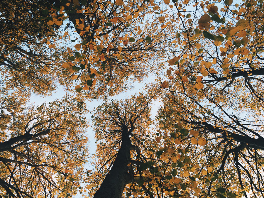 フリー写真 下から見上げる黄葉した木々