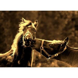 フリー写真, 動物, 哺乳類, 馬(ウマ), キス(動物), 親子(動物), セピア色