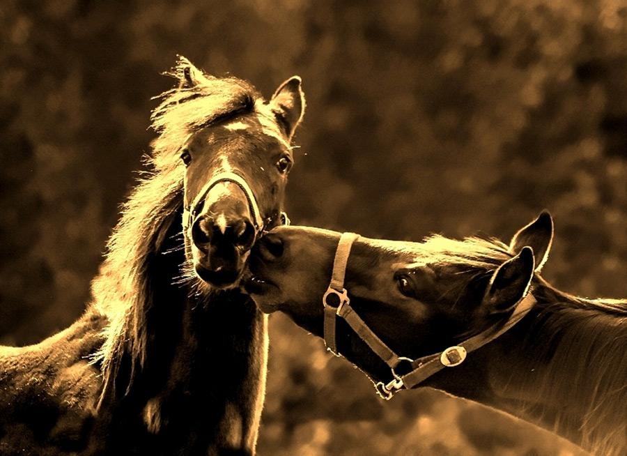 フリー写真 仔馬にキスをする母馬