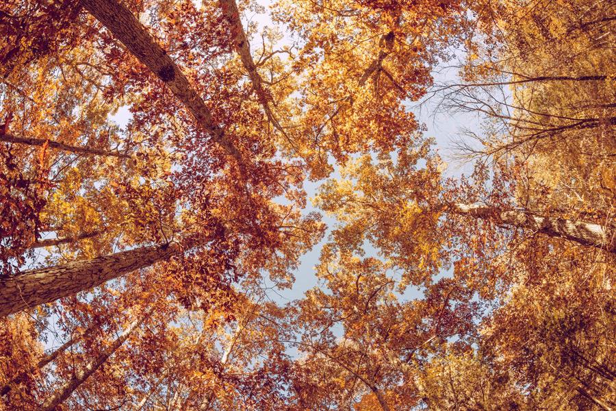 フリー写真 下から見上げる紅葉した木々の風景