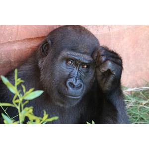 フリー写真, 動物, 哺乳類, 猿(サル), ゴリラ, 考える(動物), 悩む(動物)
