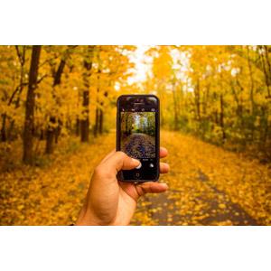 フリー写真, 人体, 手, スマートフォン(スマホ), 写真撮影, カメラ, 並木道, 森林, 紅葉(黄葉), 秋, 黄色(イエロー)