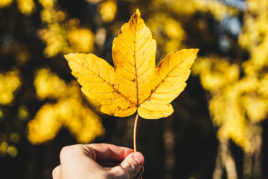 フリー写真 手に持つ黄葉した葉っぱ