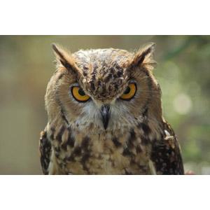 フリー写真, 動物, 鳥類, 猛禽類, 梟(フクロウ), ワシミミズク