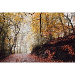 フリー写真, 風景, 森林, 樹木, 紅葉(黄葉), 落葉(落ち葉), 秋, 霧(霞), 小道, イギリスの風景, イングランド