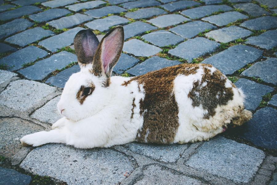 フリー写真 石畳の上で休むうさぎ