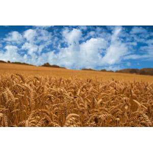 フリー写真, 風景, 畑, 田舎, 穀物, 麦(ムギ), 雲