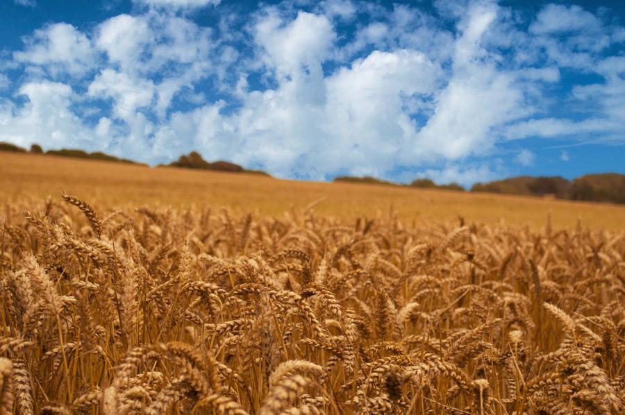 フリー写真 収穫を迎える麦畑の風景
