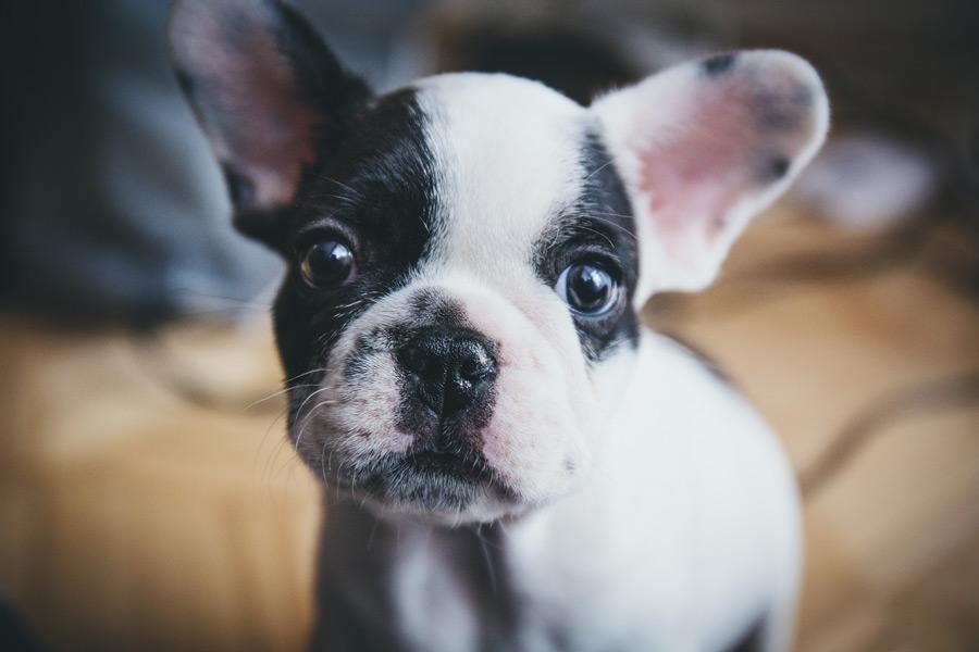 フリー写真 フレンチブルドッグの子犬