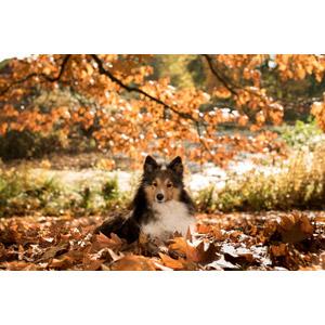 フリー写真, 動物, 哺乳類, 犬(イヌ), シェットランド・シープドッグ, 落葉(落ち葉)